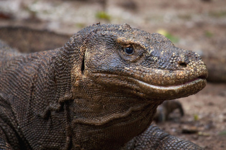 Komodo Dragon  and komodo Village Tour  4D/3N