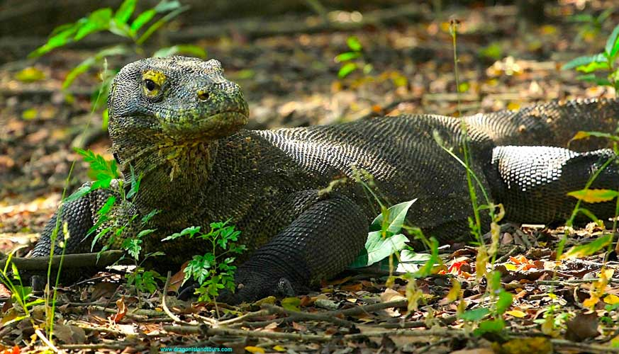 Komodo Dragon 2
