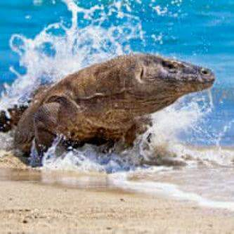 Komodo Dragon with  pink beach