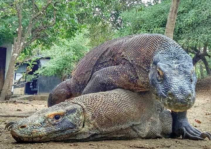 Male & Female Komodo